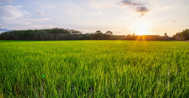 Rice field panorama with sunrise or sunset and sunbeam flare