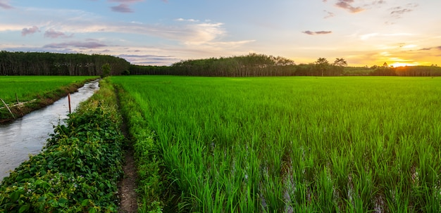 Rice field panorama with sunrise or sunset