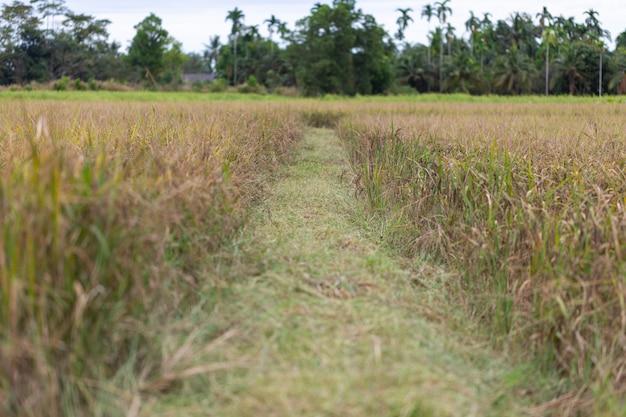 Rice field riceberry