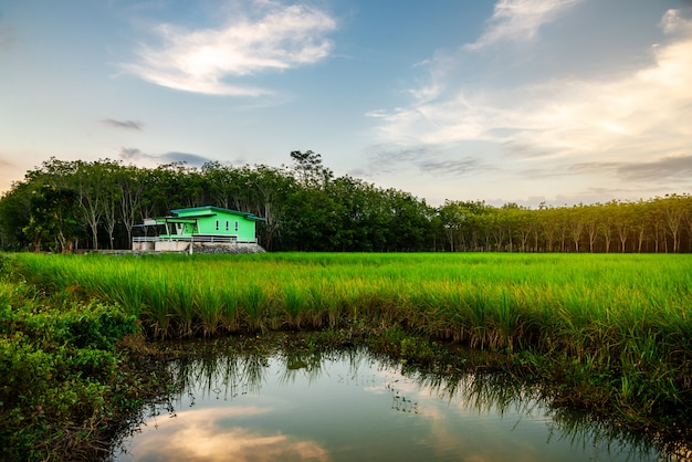Rice field rural with green house in twilight