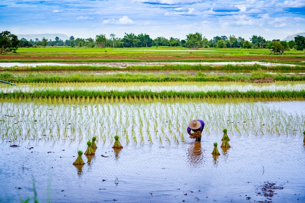 Rice field seeding season on countryside in thailand