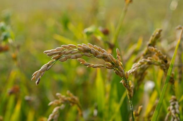 Rice field under the sunlight