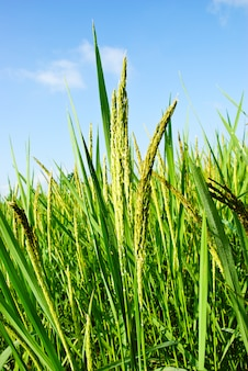 Rice field in thailand