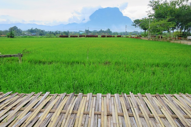 Rice field with bamboo walkway and big mountain background.