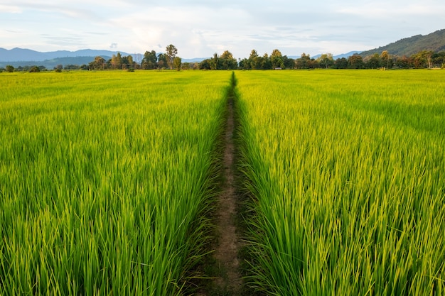 Rice field with pathway