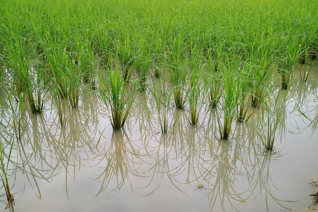 Rice field with reflection on the water. soft focus.