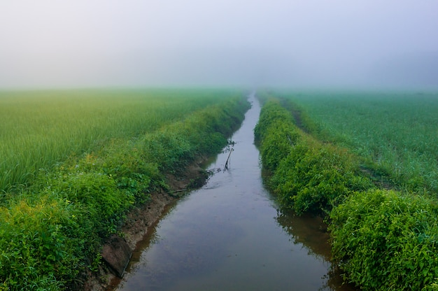 Rice field with river and mist in morning light