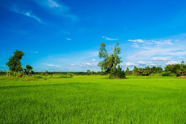 Rice field with sky in countryside
