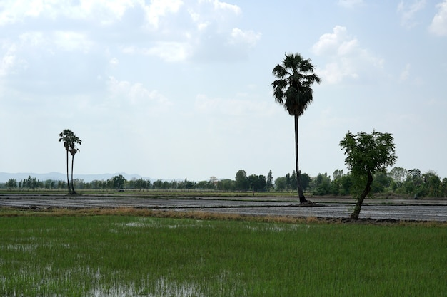 Rice field with a sugar palm tree on blue sky with clouds background
