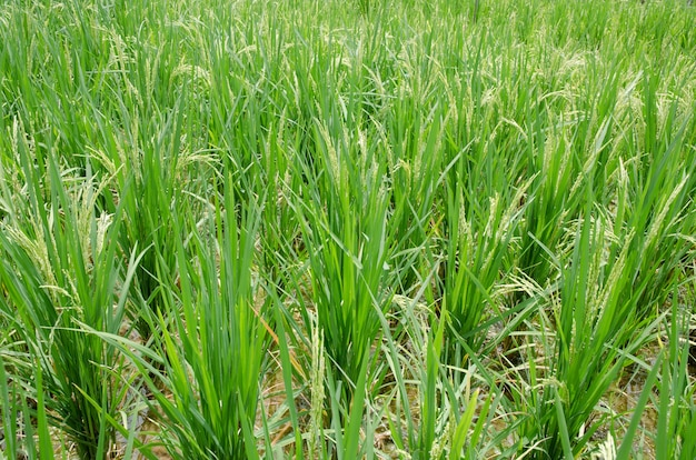 Rice in the field