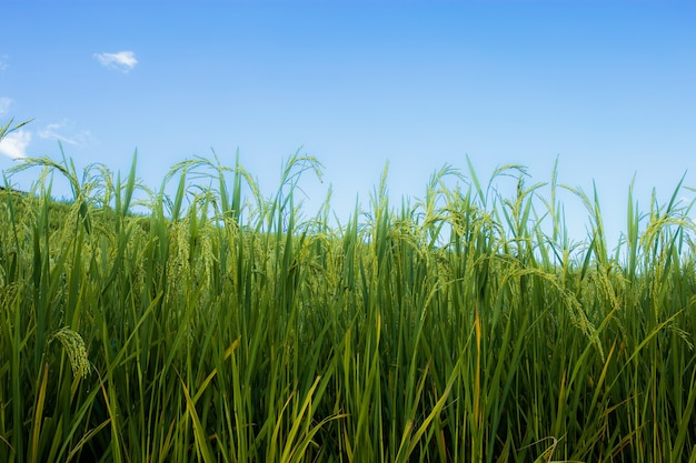 The rice fields are beginning to reach with blue sky.