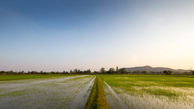 Rice fields are cultivated. paddy rice in field. water in rice fields. green rice fields a