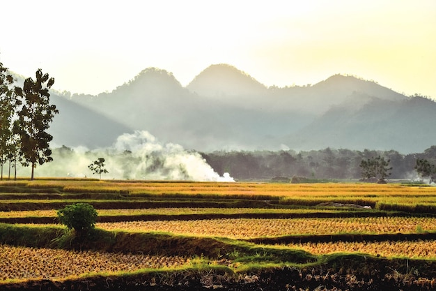 The rice fields are yellowing during the rice harvest with a mountain background in ponorogo, east java, indonesia