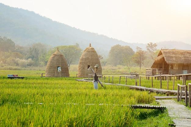 Рисовые поля на водохранилище хуай тунг тао в чиангмае, таиланд рисовые поля и хижины из двух видов риса.