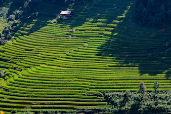 Rice fields at Northwest Vietnam