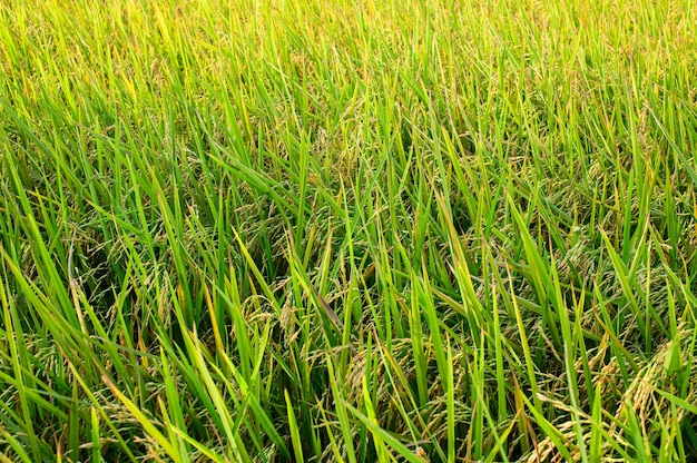 Rice fields, green rice in the daytime