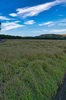 Рисовые поля в каласпарре, мурсия