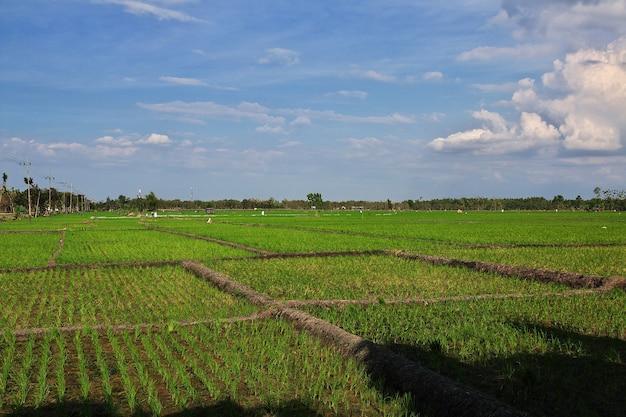 インドネシア、ジャワ島の村の水田