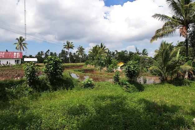 インドネシアの村の水田