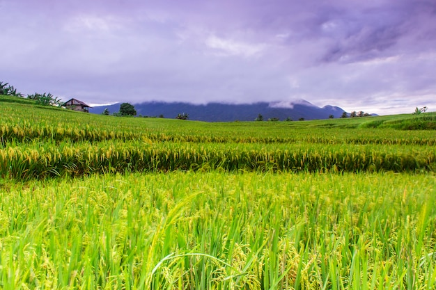 Rice fields in the morning with beautiful and cool colors