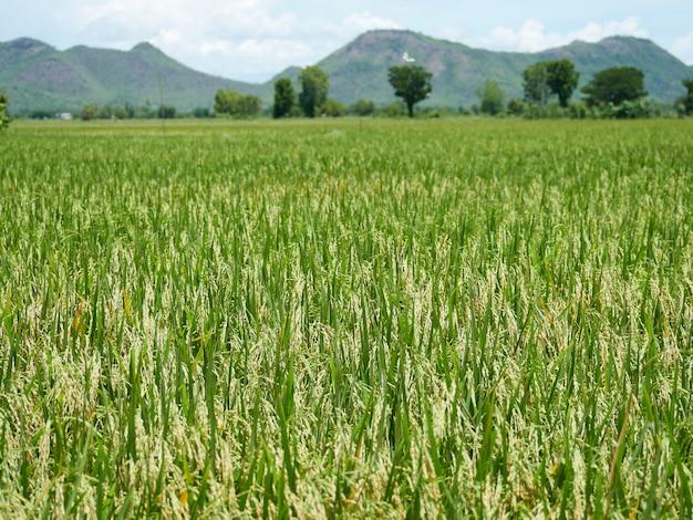 Rice fields near to harvest