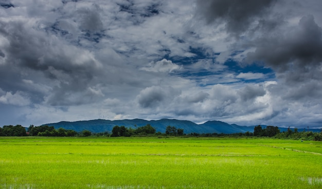 Rice fields under the overcast sky
