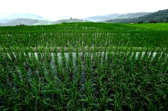 Rice fields planted in the valley.
