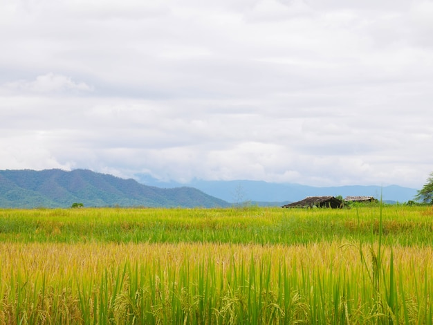Rice fields and sky with mountain