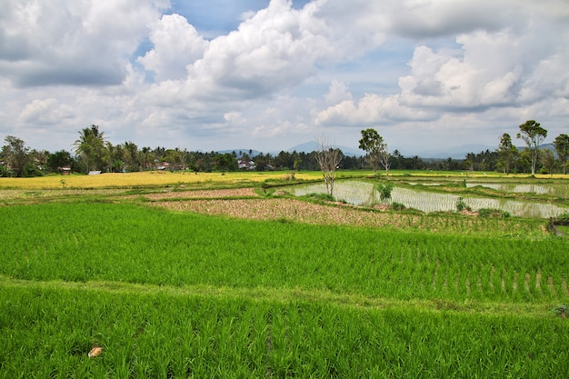 Rice fields in the small village of indonesia
