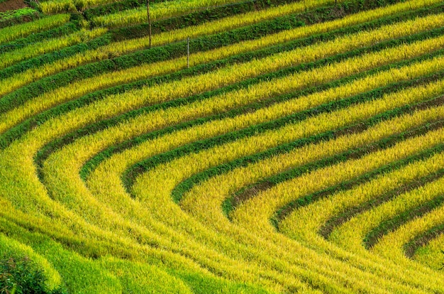 Rice fields on terraced of mu cang chai district, yenbai province, northwest vietnam