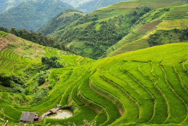 Rice fields on terraced of mu cang chai vietnam