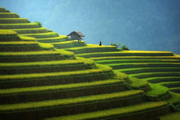 Rice fields on terraced in rainny season at mu cang chai, vietnam