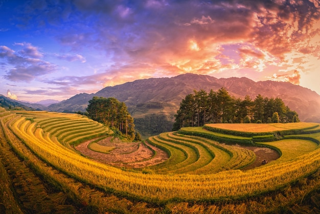 Rice fields on terraced with pine tree at sunset in mu cang chai, yenbai, vietnam