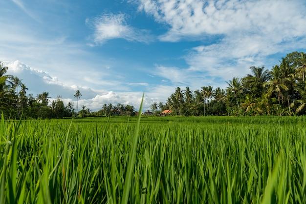 Rice fields in ubud