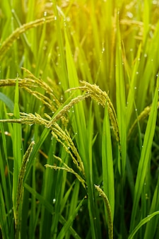 Rice fields with drops in the morning