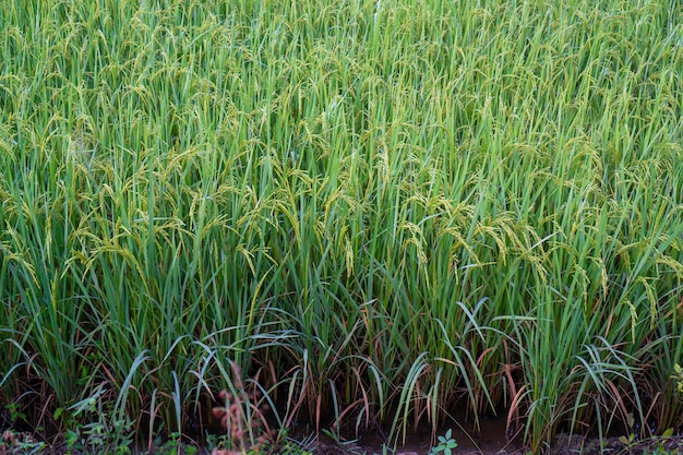 Rice fields with good agricultural products in thailand