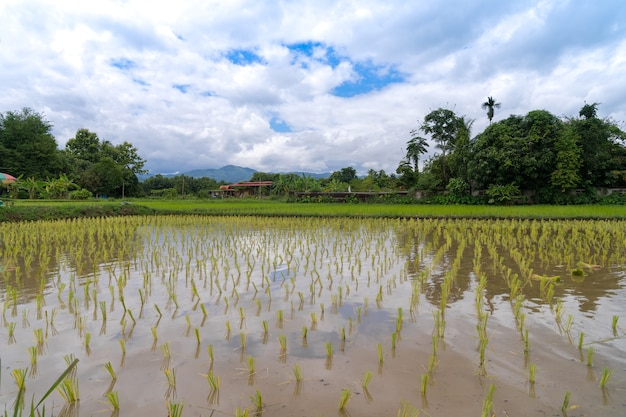 흐린 푸른 하늘과 반사, 태국의 전통 벼 재배와 함께 물에 잠긴 농장에 쌀