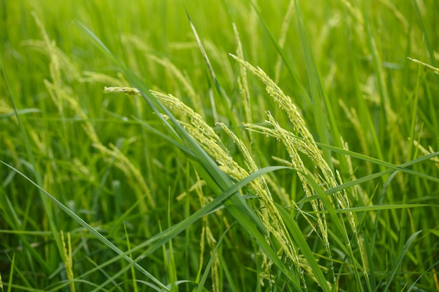 Rice flowers on green field