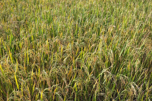 The rice grains are waiting to be harvested.
