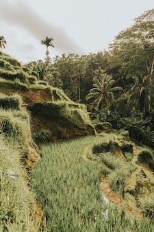 Rice hills surrounded by the palm trees gleaming under the cloudy sky in bali, indonesia
