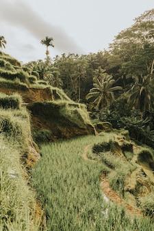 발리, 인도네시아의 흐린 하늘 아래 빛나는 야자수로 둘러싸인 쌀 언덕