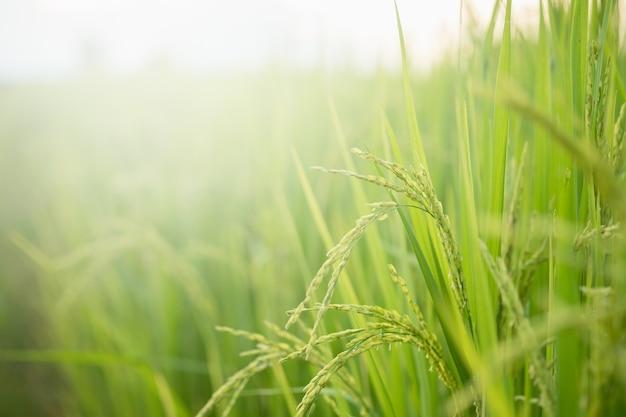 タイ北部での野外転換試験における米、米黄色およびコピースペース。有機アジアの稲作と農業におけるゴールデンライスの穂。