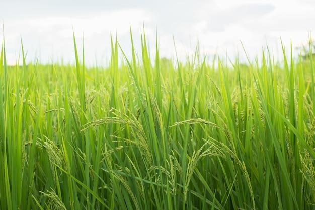 タイ北部での圃場転換試験における米、米黄色、穀物のクローズアップ、抽象的な自然。圃場での米の穂。