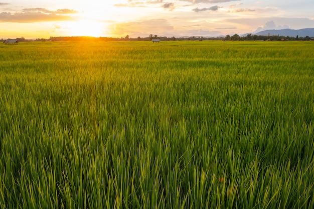 イネは水田で育ちます。明るい緑の草。イネの苗は薄緑です。畑と日没。