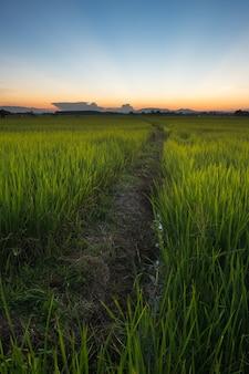 イネは水田で育ちます。明るい緑の草。イネの苗は薄緑です。畑と日没