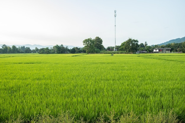 벼는 논에서 자라는 것입니다. 벼의 묘목은 연한 녹색입니다. 시골 쪽의 벼 농장입니다.