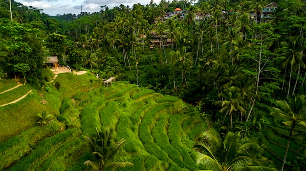 Rice paddy fields near ubud in bali, indonesia aerial view