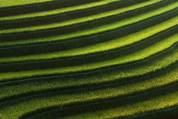 Rice paddy fields prepare the harvest at northwest vietnam