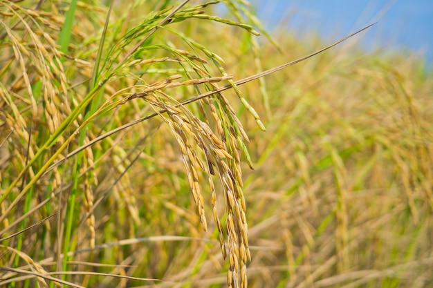 Rice plant, green nature background, organic food