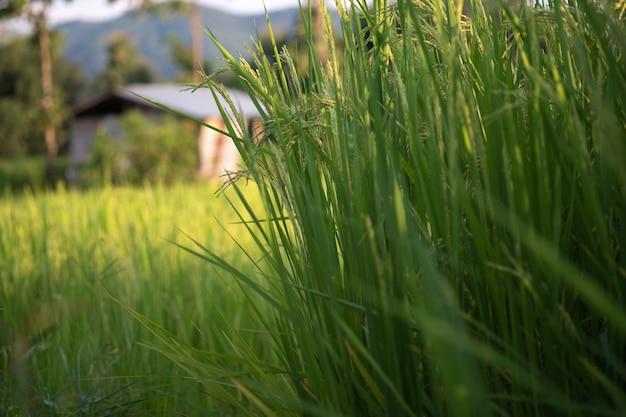 タイの緑の水田の稲。